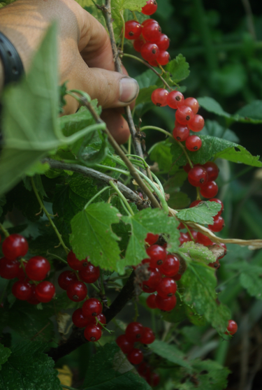 After All These Years Is Bush >> Red Currants – The Fruit Nut