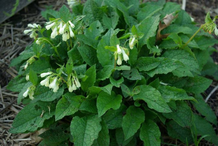 Comfrey For The Garden Amp Orchard The Fruit Nut