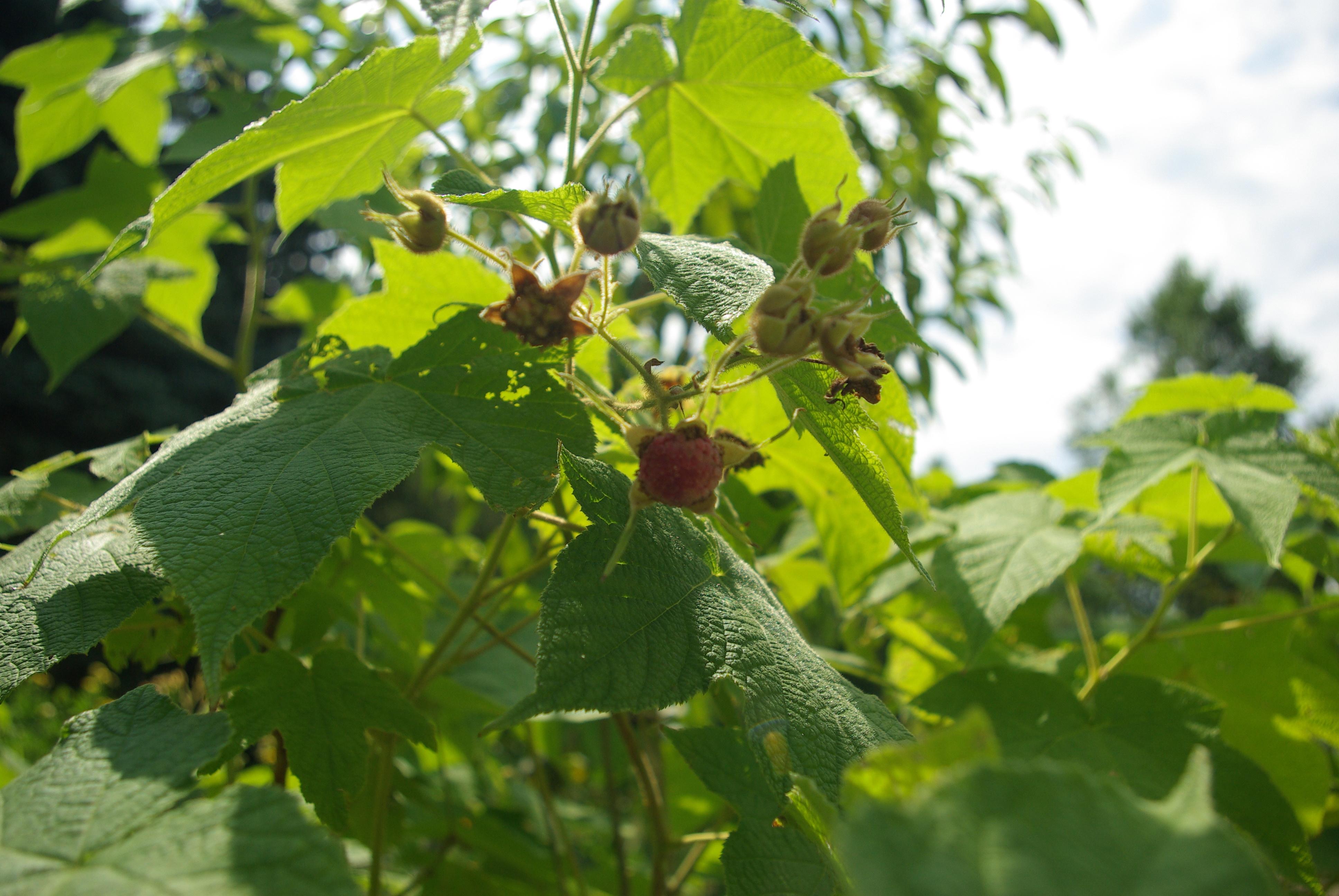 Purple Flowering Raspberry An Ornamental Edible The Fruit Nut