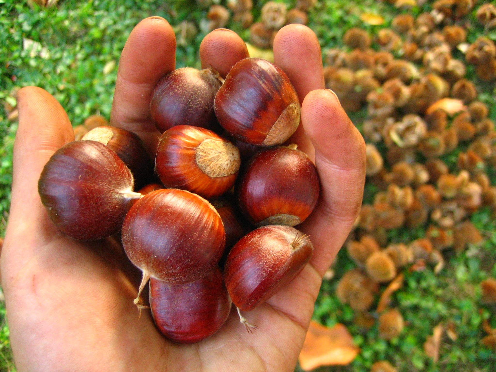 Chestnut the fruit nut for The chestnut