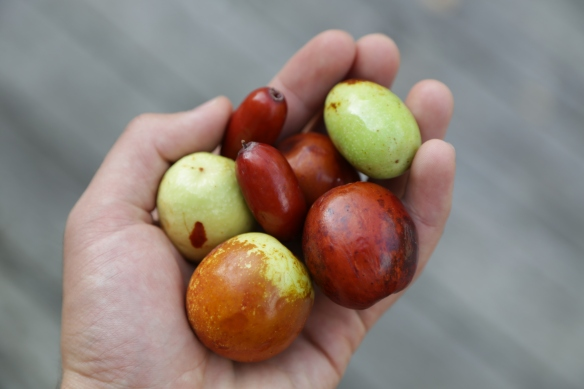 'Xu Zhou', 'Redland', and 'Tigertooth' jujube sent from Cliff England of Englands Orchard and Nursery.