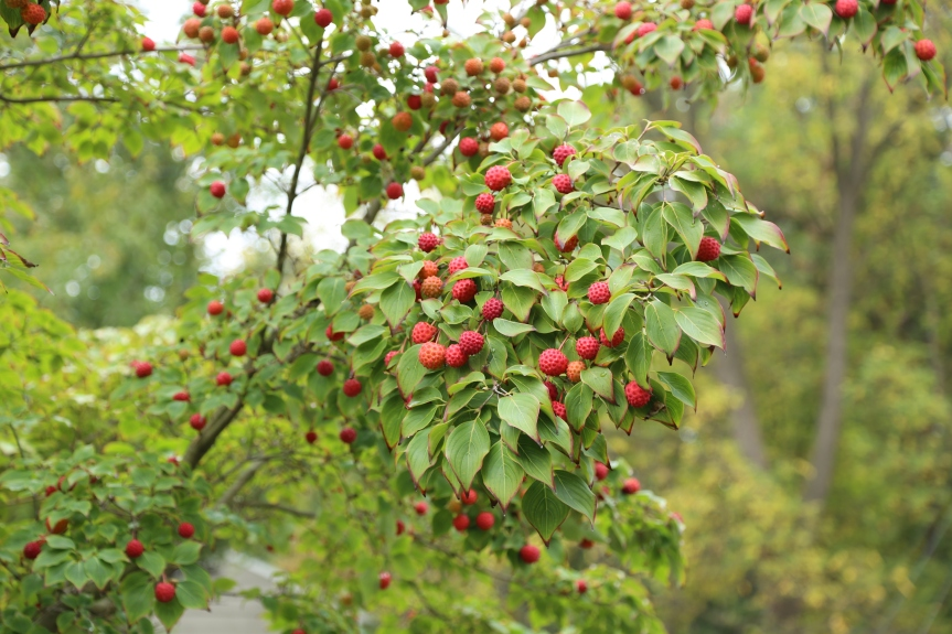 The illustrious ornamental—kousa dogwood, few people know it's fruits are fully edible and moderately tasty.