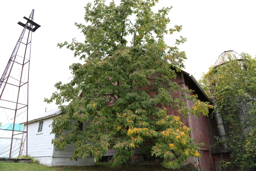 Magnificent American persimmon tree in Williamston, MI at the MNGA fall meeting.
