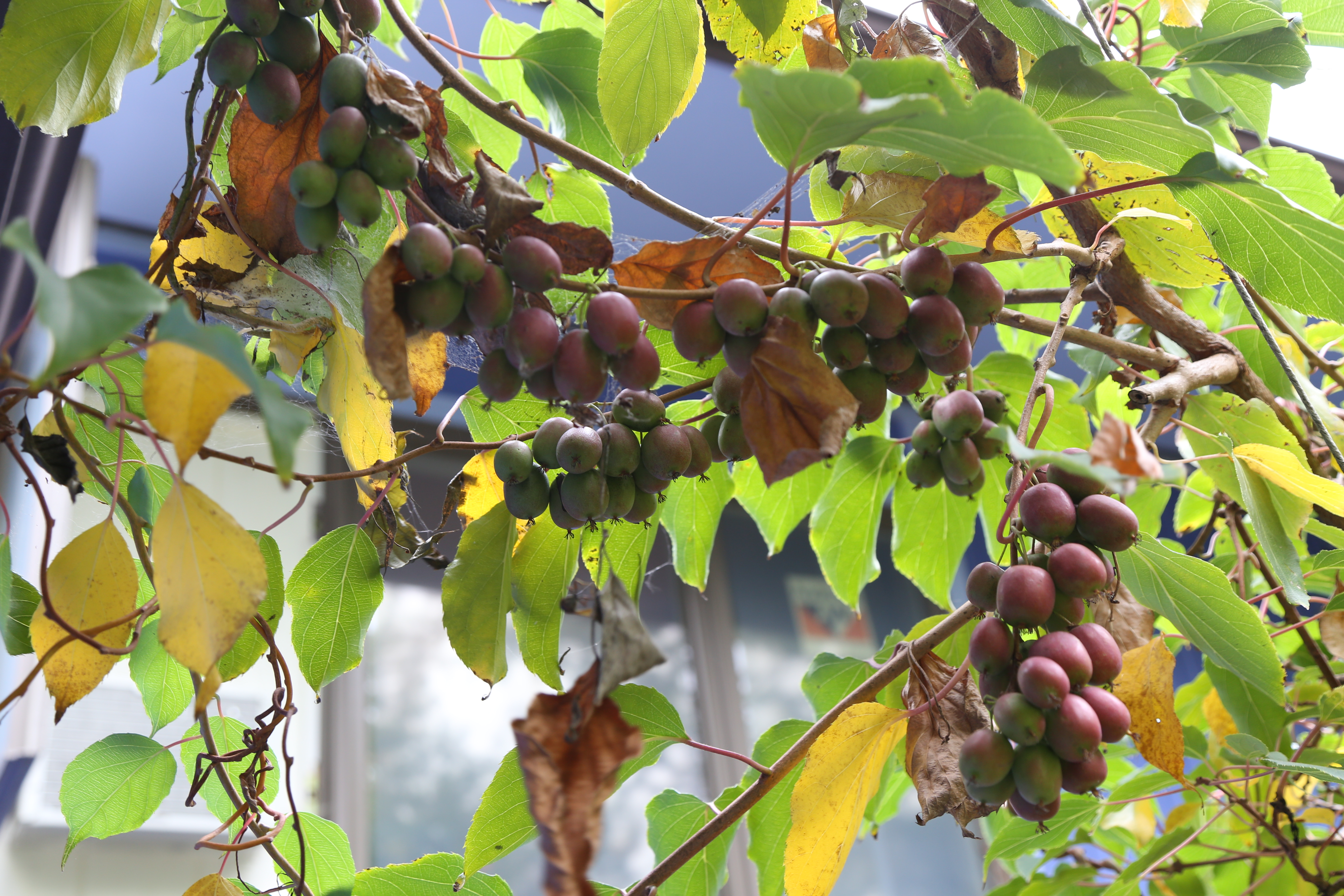 spotlight on hardy kiwi  how to prune  the fruit nut, Natural flower