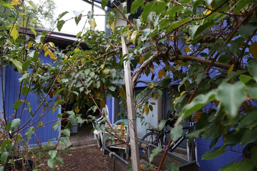 Kiwi vine trained to a single trunk with two cordons growing outward in either direction.