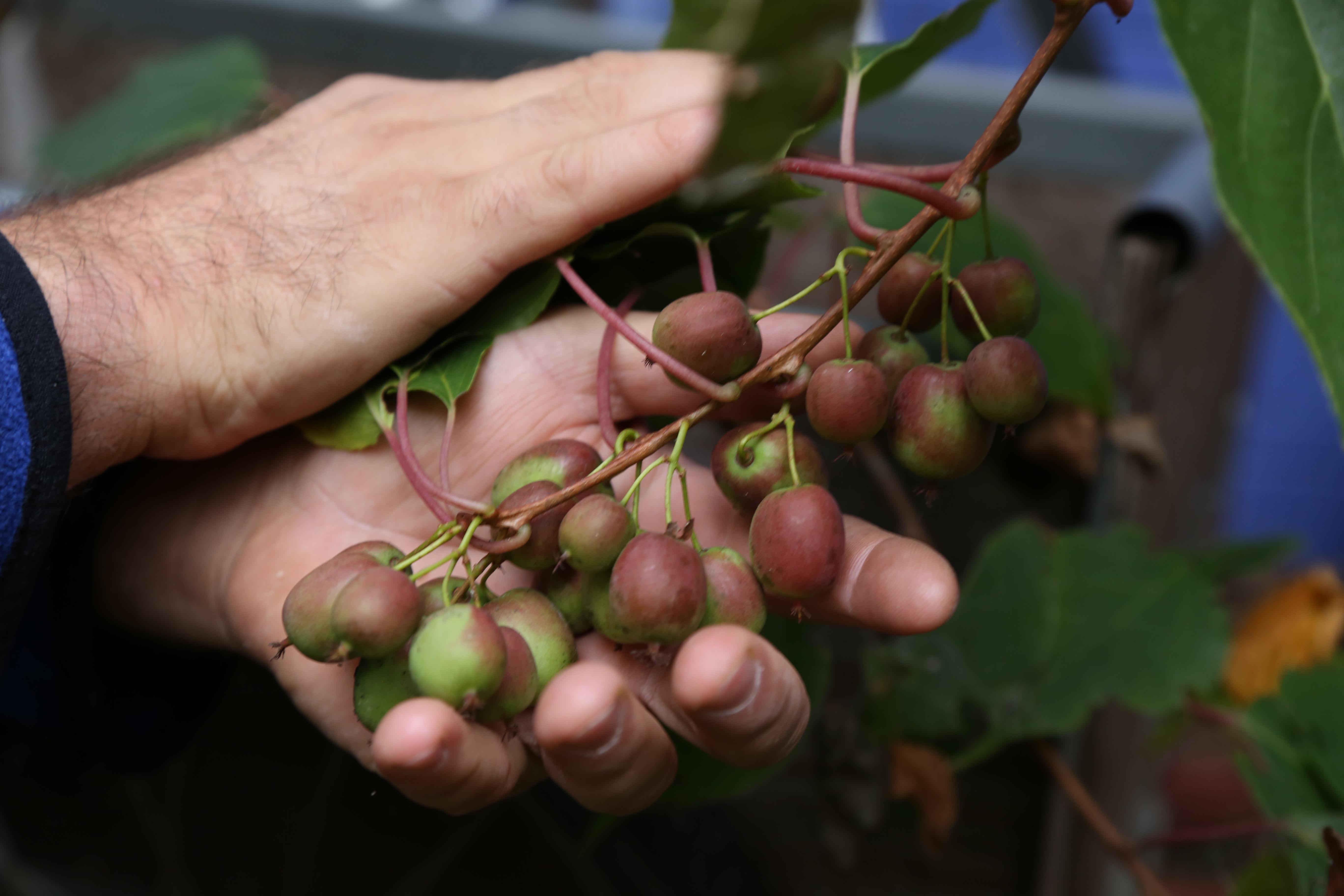 Spotlight On Hardy Kiwi Amp How To Prune The Fruit Nut