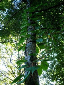 This unproductive kiwi vine grew up trees and as a tangled mass on the surrounding shrubbery.