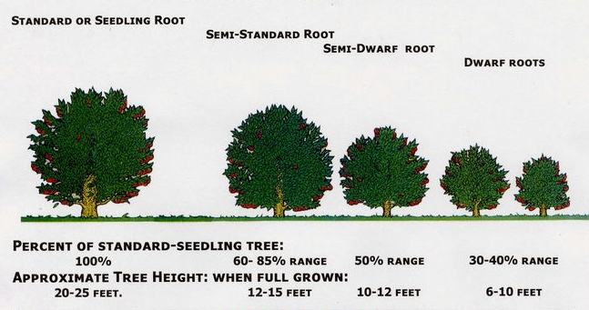 Rootstock size chart from www.grandpasorchard.com