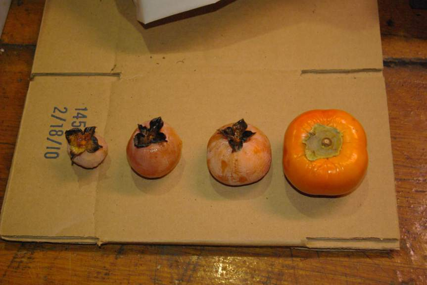 Asian persimmon on far right with seedling Americans of varying sizes.