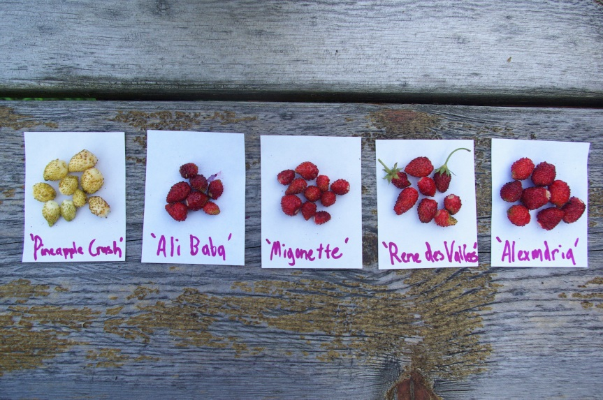 Flavor variation is rather subtle amongst cultivars, however productivity and berry size do vary quite a bit.