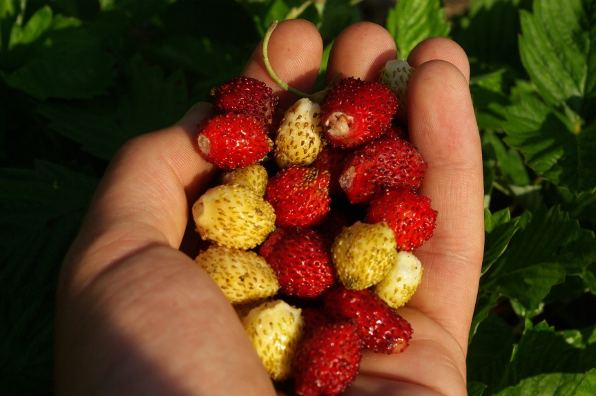 Alpine strawberries come in red, white, and yellow!