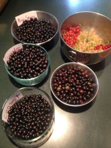 It was a great season for Ribes— picked the last of the black currants last week.