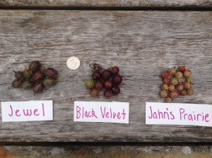 Despite the magnitude of the situation regarding the damn currant worms, I managed to do a sampling of a few of the dozen or so varieties in my collection. All at varying degrees of ripeness, the black velvets were slightly under ripe but time was of the essence with my little quackers on the case.