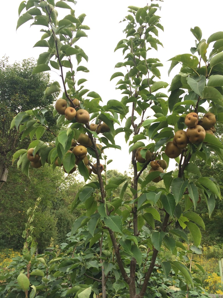 'Korean Giant' Asian pear with notable curculio damage