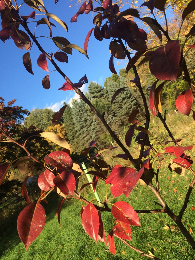 Stunning crimson foliage on this young 'Seckel' pear.