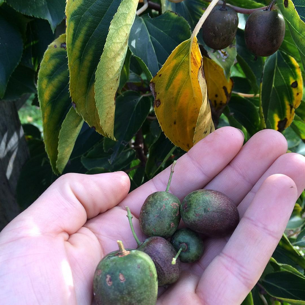 First year trying fruit from 'MSU' hardy kiwi vine. Interesting story to come on that, stay tuned.