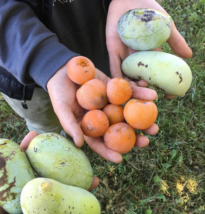 Beautiful pawpaws and 'Prok' American persimmons harvested at a buddies farm outside of Ann Arbor. 9/27/16